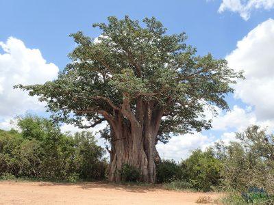 Nejjižnější baobab